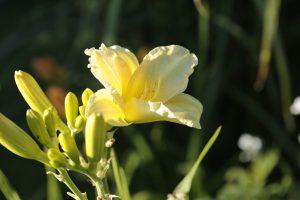 Taglilie So Loveley, zartes Gelb, stark verzweigt, viele Knospen